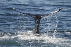 Whales in Tenerife